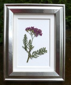 This is a framed real pressed flower botanical art herbarium of pink Yarrow. It measures approximately 1.5 x 2 and has a cluster flower head of light and darker pink florets. The foliage is rich green and fern-like. The botanical is mounted on white, cold press watercolor paper that measures about 3x5. It is framed in a beautiful, foil-like, silver frame made of MDF that measures 3.75 x 4.75 and includes a cream colored mat. As with all Garden Galleries frames, the glass is UV-protective…