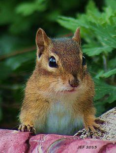 Chipmunk Posing!