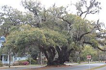 Lover's Oak - Brunswick, GA.  ...a notable live oak named Lover's Oak (located at Prince and Albany Streets).[116] As of 2005, it is approximately 900 years old.  According to the State of Georgia and American Indian folklore, Native American braves and their maidens would meet under the oak.