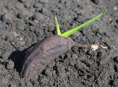 How To Grow Banana Trees In Pots #gardeninginpots #indoorgardening