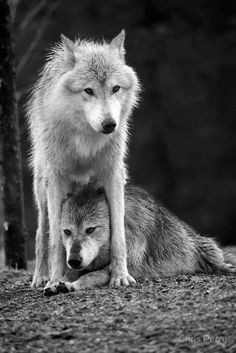 Wolves, the loyal protectors Wolf Photos, Wolf Pictures, Animal Pictures, Beautiful Creatures, Animals Beautiful, Cute Animals, Otter, Shadow Wolf, Wolf Husky
