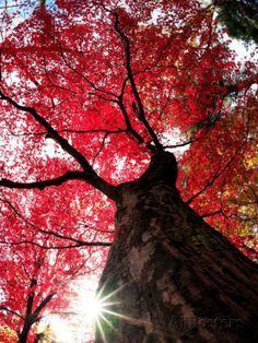 Old Maple Tree in Autumn Photographie sur AllPosters.fr