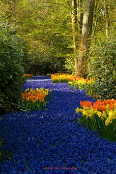 """Flower River - So Pretty [ should do this now on that side of the house & at the cottage. It would be pretty with an """"infinity"""" boarder, ie, the back or side of the cottage, a patio, then the blue pool of flowers ending in a retaining wall, flowers cascading over the edge & a tree framed or unobstructed view of the sky ]"""