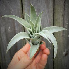 SALE - Harrisii - Set of 5, 10, or 15 Plants - 50% Off