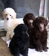 Miniature Poodle puppies How do you chose??? Just take them all Would you???