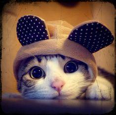 Resultado de imagem para gatos com orelha pequena
