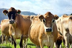 Jersey Cow Dairy Cattle in Rural Scene Dairy Jersey Cattle of Cows on the Farm in a Rural Scene. Agricultural Field Stock Photo Jersey Cattle, North Island New Zealand, Dairy Cattle, Scene Photo, Feature Film, Livestock, Photo Illustration, Image Now, Cows