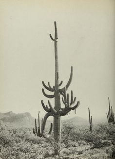Saguaro.  I bet this one is close to 200 years old.