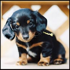 Miniature Dachshunds. Had two of those precious ones, too.  Fred & Ethel. Always in my memories. Always.