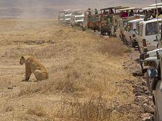 """O fotógrafo britânico Martin Henfield registrou o momento em que uma leoa """"cansou"""" de ser fotografada na Tanzânia. Um grupo de turistas parou para registrar o animal, mas o predador simplesmente virou de costas, como se recusasse a posar para o grupo. Os guias chegaram a gritar para tentar chamar a atenção do animal, mas, após cansarem de esperar, desistiram e seguiram caminho. Fonte: Terra"""
