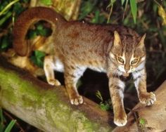Rusty-spotted Cat: The Rusty-spotted Cat is indigenous to South and/or Central India, and Sri Lanka. Small Wild Cats, Small Cat, Big Cats, Wild Cat Breeds, Wild Cat Species, Rusty Spotted Cat, Exotic Cats, Warrior Cats, Tiger