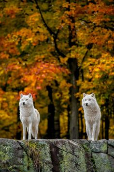 wolves                                                                                                                                                                                 More