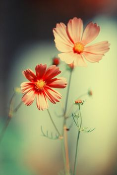 Container Gardening - An Answer To Minimal House For Increasing Vegetation Courage Is The Price That Life Exacts For Granting Peace. Cosmos Flowers, Flowers Nature, Pink Flowers, Very Beautiful Flowers, Beautiful Flowers Wallpapers, Flower Wallpaper, Nature Pictures, Mother Nature, Happy Birthday