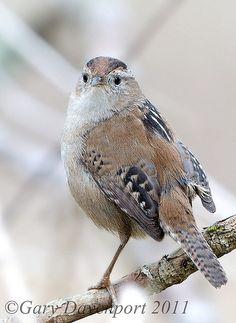 Marsh Wren   Flickr - Photo Sharing!