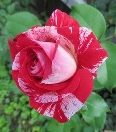 'Rock & Roll™ (grandiflora, Carruth 2006)' rose photo