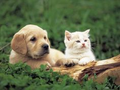 puppies and kittens | 1104607golden-retriever-puppy-and-kitten-posters.jpg