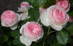 Розы сорта «Пьер де Ронсар»  -  самые  дорогие  в  мире.