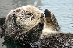 Sea otter napping at Seattle Aquarium.