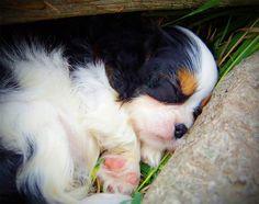 Very sweet Cavalier puppy