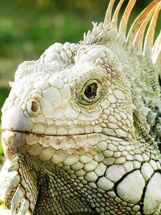 Σαύρα, Reptilia, Φύση, Animalia