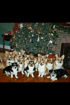 Christmas miracle! (What I want to know is how to make them all stay in one spot, at one time? Must be Corgi Magic.)