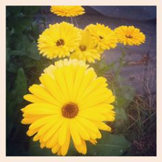 yellow calendula - so many petals to liven up your dishes