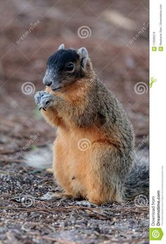Eastern Fox Squirrel Sciurus Niger R Stock Image - Image of rodent, squirrel: 110583519
