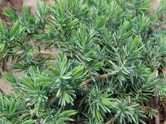 Juniperus conferta 'Blue Pacific'. Juniper. 1' x 6'+-