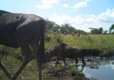 Wading wildebeest!