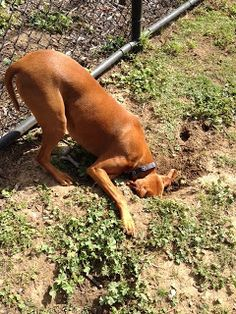 Dogs dig out of boredom. Because digging is a ton of fun! Dogs love to dig… Stop Dogs From Digging, Dogs Digging Holes, Baby Dogs, Dogs And Puppies, Doggies, Baby Dachshund, Dog Runs, Dog Care, Dog Training