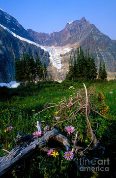 Cavell Meadows with Angel Glacier in the far distance. Jasper National Park, Alberta, Canada.