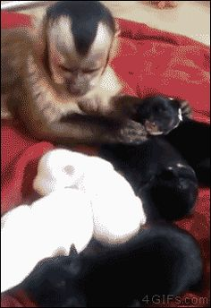 "ONE OF MY FAVE GIFS - Funny animal gifs - part 181 (10 gifs) | This little monkey is better with puppies than a lot of people are. What a sweetie! - ""Okay, okay...I'll pet you too. Don't worry puppies.....I got enough love for everybody!"""