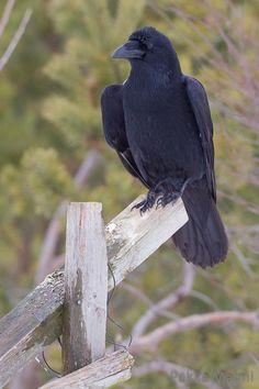 Viking Raven, Raven Art, Jackdaw, Crows Ravens, Zoology, Magical Creatures, Linocut Prints, Spirit Animal, Animal Kingdom