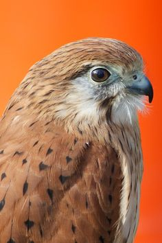 Falcon, bird of prey, beautiful and amazing to watch when hunting.
