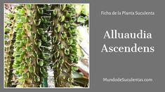 Alluaudia Ascendens - Fichas de Plantas Suculentas Cactus Y Suculentas, Air Plants, Compost, Succulents, Cacti, World, Herbs, Mail Boxes, Irrigation