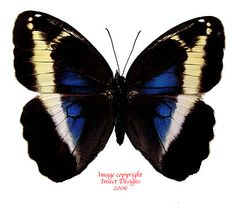 Insect Designs :: Butterflies and Moths :: Brassolidae ...