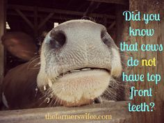 Educational page with fun facts about dairy farming. For example: Did you know that cows do not have top front teeth? Agriculture Quotes, Animal Agriculture, American Agriculture, Front Teeth, Fun Facts, Random Facts, Enrichment Activities, Did You Know Facts, Vet Med