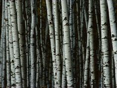 birch trees photos | White birch trees stand tall in Riding Mountain National Park, in ...