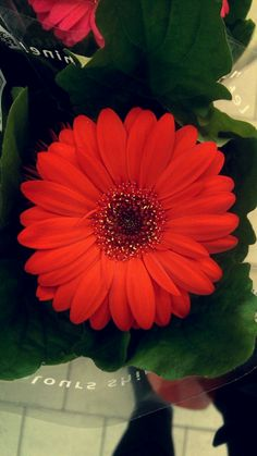 #flower #beautiful #awesome #gerberas #photo #photography #red #redflower