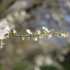 cherryblossom Photo And Video, Floral, Flowers, Plants, Photography, Instagram, Photograph, Fotografie, Photoshoot