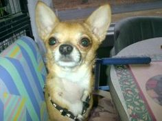 Bino (Bambino) is an adoptable Chihuahua Dog in South Amboy, NJ. Bino is 2 yrs old, 5 lbs. To adopt Bino, please go to our website www.atailtotell.com and fill out an adoption application...