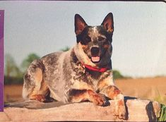 AUSTRALIAN CATTLE DOG  ~ DOG BREED DOOR MAT ~ INDOOR/OUTDOOR USE