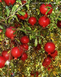 Punica granatum Pomegranate 'Wonderful'