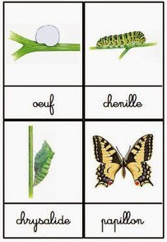 Crapouillotage: Cartes de Nomenclatures : Le Cycle de vie du Papillon Crapouillotage: Nomenclature Maps: The Life Cycle of the Butterfly Science Montessori, Preschool Curriculum, Preschool Kindergarten, French Teaching Resources, Butterfly Life Cycle, Butterfly Dragon, Eric Carle, Science Projects, Science Ideas