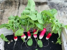 Learn how to grow radishes indoors with tips from the experts at DIY Network.