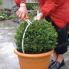 Guide de taille boule 40cm pour Buis Topiary Garden, Topiary Trees, Sun Plants, Garden Plants, Formal Gardens, Outdoor Gardens, Pot Jardin, Minimalist Garden, Garden Journal