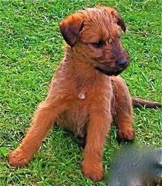 31 Best Irish Terriers Images Irish Terrier Terrier Terriers