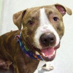 TORETTO – A1092385 MALE, BR BRINDLE / WHITE, AM PIT BULL TER / AMERICAN STAFF, 3 yrs STRAY – STRAY WAIT, HOLD FOR LOST&FOUND Reason STRAY Intake condition UNSPECIFIE Intake Date 10/05/2016, From NY 11206, DueOut Date 10/08/2016, Medical Behavior Eval