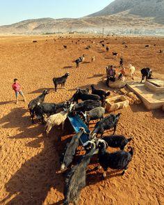 Sarıkeçili Yörük çocukları ve buram buram Torosların havası... Fotoğrafları gönderen: Mustafa Gümüş Camel, Animals, Animales, Animaux, Camels, Animal, Animais, Bactrian Camel