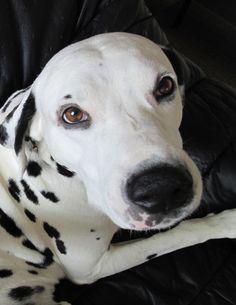 Dalmatian Martin Ⅱ